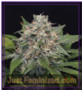 Garden of Green Super Pineapple Haze Fem 10